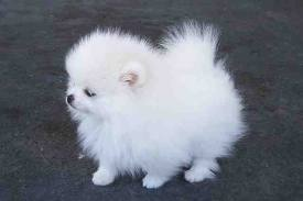 sandiego: Teacup Pomeranian puppies Available Now for Adoption